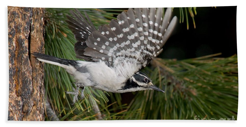 Fauna Hand Towel featuring the photograph Hairy Woodpecker by Anthony Mercieca