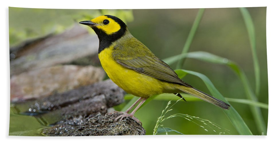 Hooded Warbler Hand Towel featuring the photograph Hooded Warbler by Anthony Mercieca