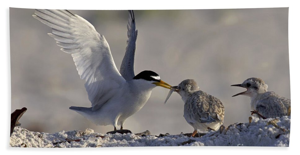 Least Tern Hand Towel featuring the photograph Least Tern Feeding It's Young by Meg Rousher