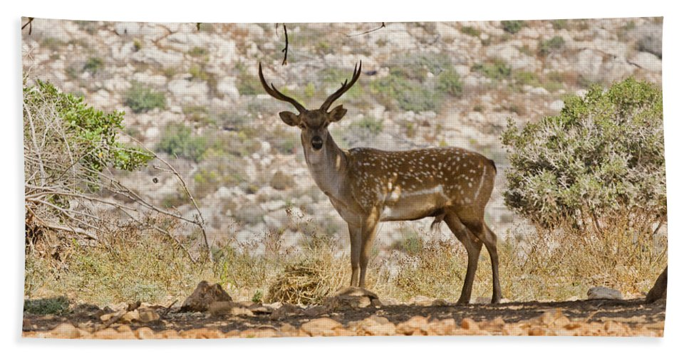 Fallow Hand Towel featuring the photograph Mesopotamian Fallow Deer 5 by Eyal Bartov