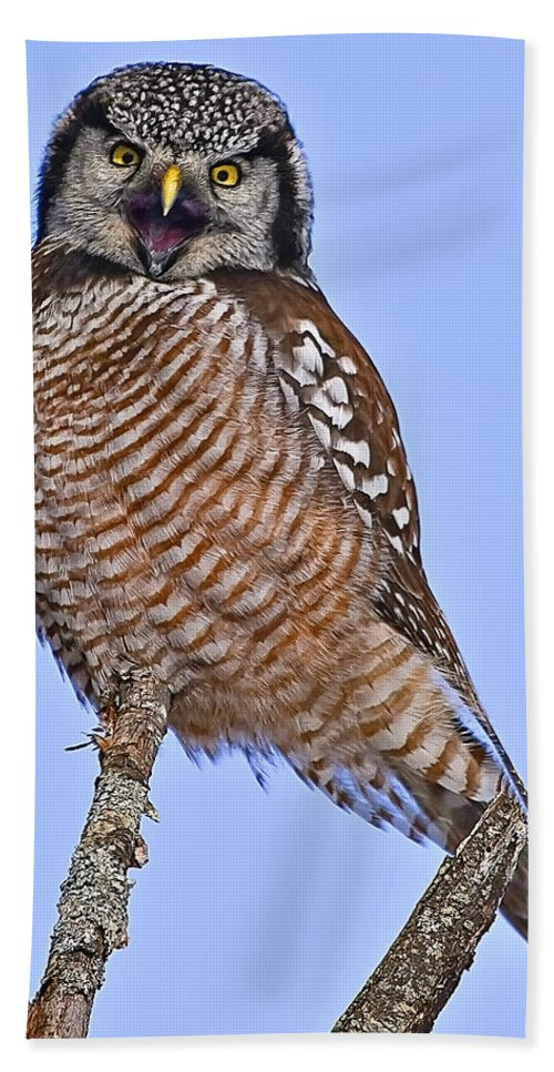 Northern Hawk Owl Bath Sheet featuring the photograph Northern Hawk Owl by John Vose