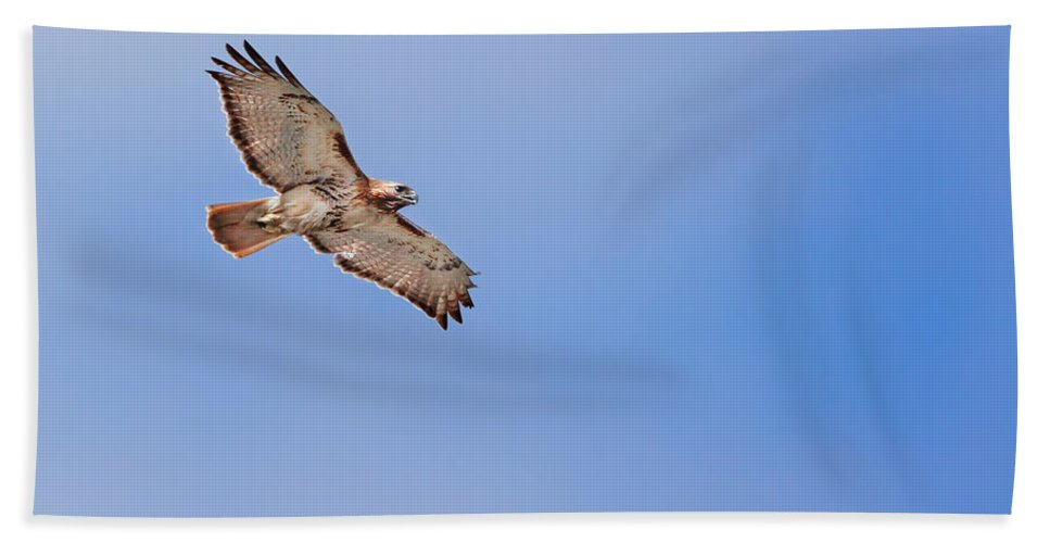 Redtail Hawk Hand Towel featuring the photograph Out Of The Blue by Bill Wakeley