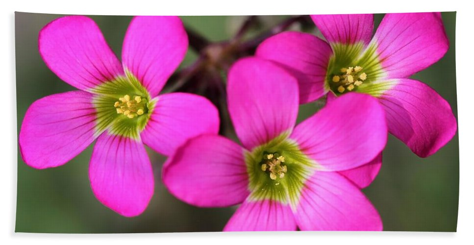 Mccombie Hand Towel featuring the photograph Oxalis Magnifica by J McCombie