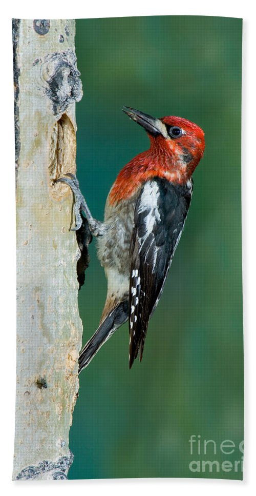 Fauna Hand Towel featuring the photograph Red-breasted Sapsucker by Anthony Mercieca