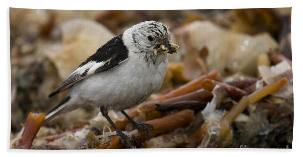 Arctic Bath Sheet featuring the photograph Snow Bunting by John Shaw