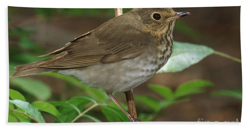 Animal Bath Towel featuring the photograph Swainsons Thrush by Anthony Mercieca