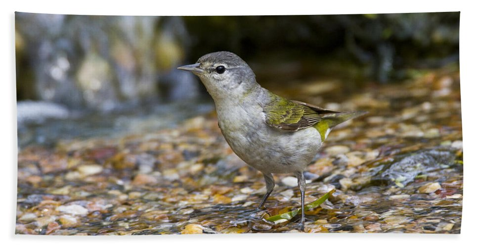 Doug Lloyd Hand Towel featuring the photograph Tennessee Warbler by Doug Lloyd