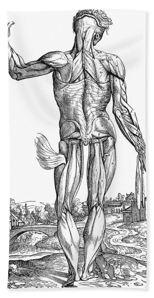 1543 Bath Sheet featuring the photograph Vesalius: Muscles, 1543 by Granger