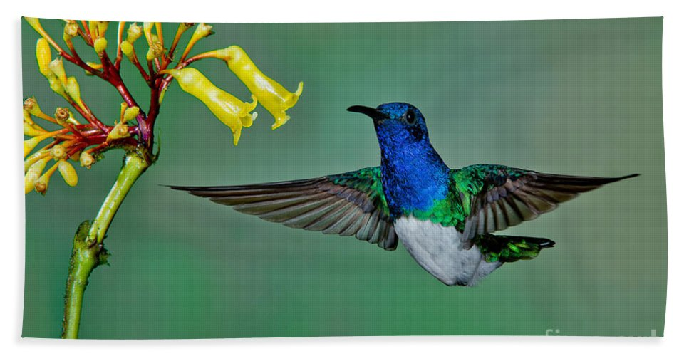 White-necked Jacobin Hand Towel featuring the photograph White-necked Jacobin by Anthony Mercieca