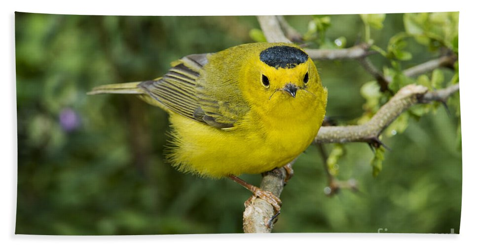 Wilson's Warbler Hand Towel featuring the photograph Wilsons Warbler by Anthony Mercieca