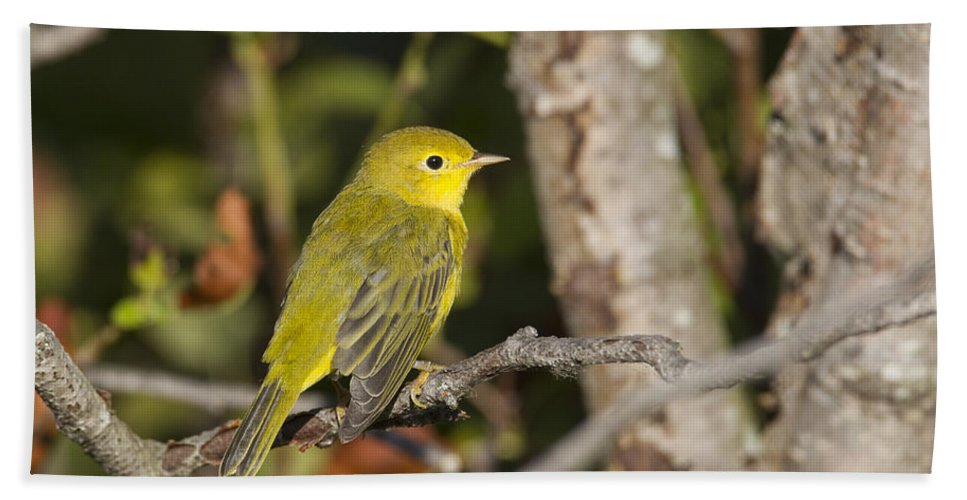 Doug Lloyd Hand Towel featuring the photograph Yellow Warbler by Doug Lloyd