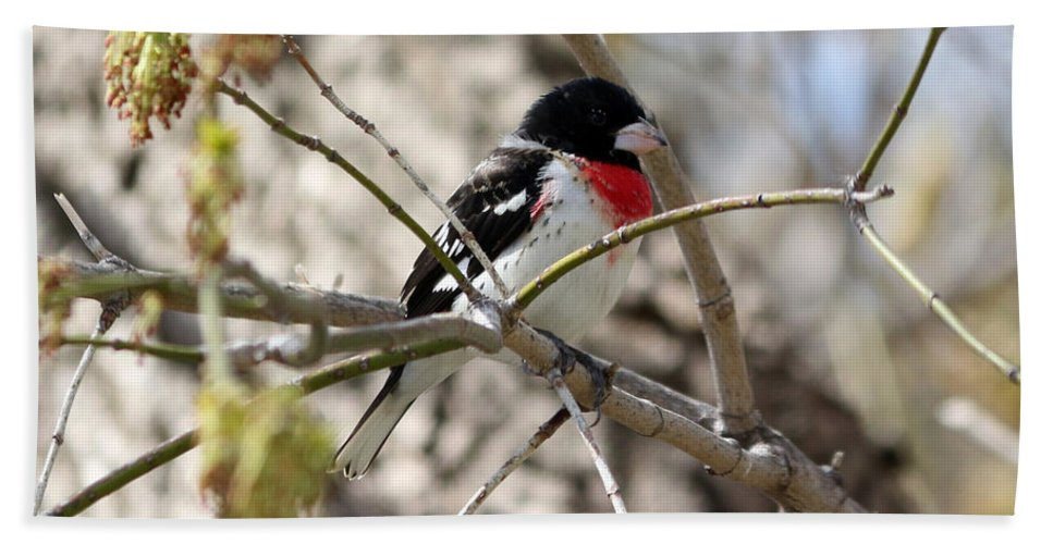 Rose Breasted Grosbeak Hand Towel featuring the photograph Rose Breasted Grosbeak by Lori Tordsen