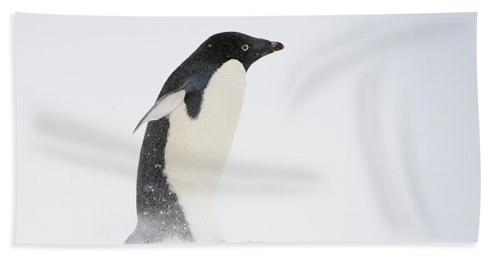 Antarctica Bath Sheet featuring the photograph Adelie Penguin by John Shaw