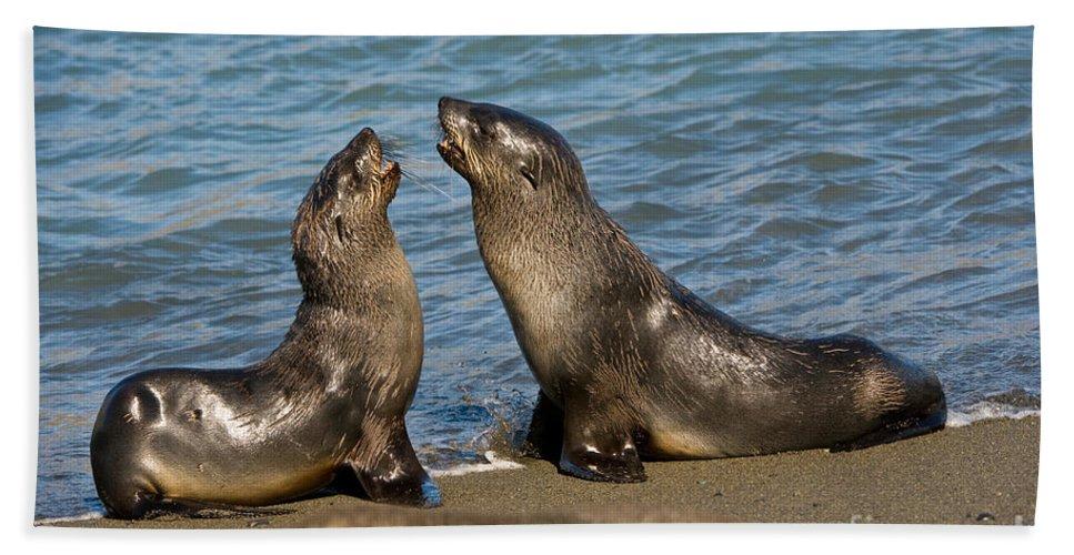 Antarctic Fur Seal Bath Sheet featuring the photograph Antarctic Fur Seals by John Shaw