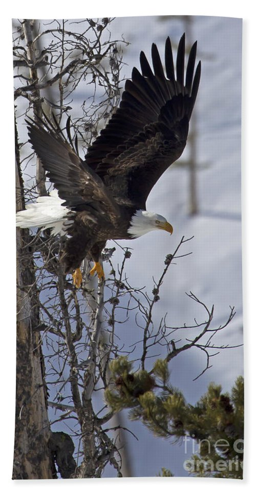 Bird Bath Sheet featuring the photograph Bald Eagle  #8309 by J L Woody Wooden