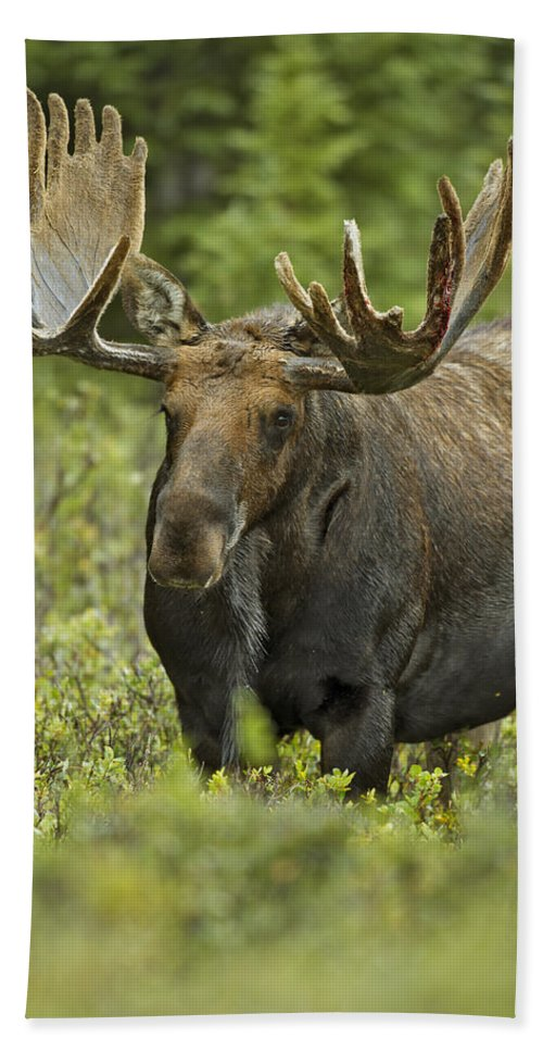 Autumn Hand Towel featuring the photograph Bull Moose In Velvet by Gary Langley