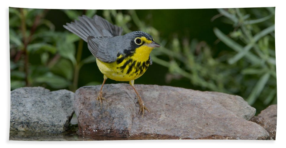 Canada Warbler Hand Towel featuring the photograph Canada Warbler by Anthony Mercieca