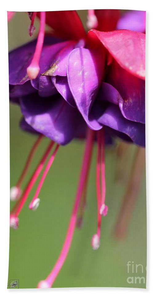 Mccombie Bath Sheet featuring the photograph Fuchsia Named Dark Eyes by J McCombie