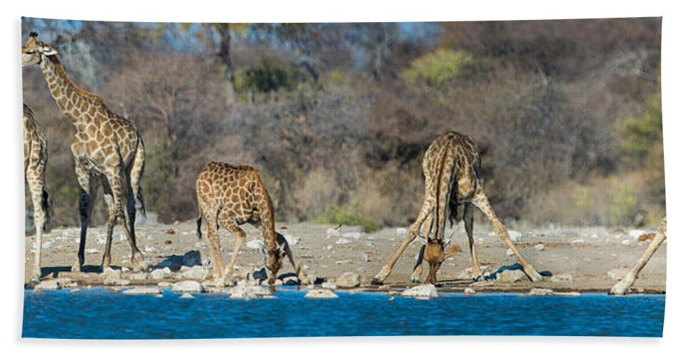 Photography Bath Sheet featuring the photograph Giraffes Giraffa Camelopardalis by Panoramic Images