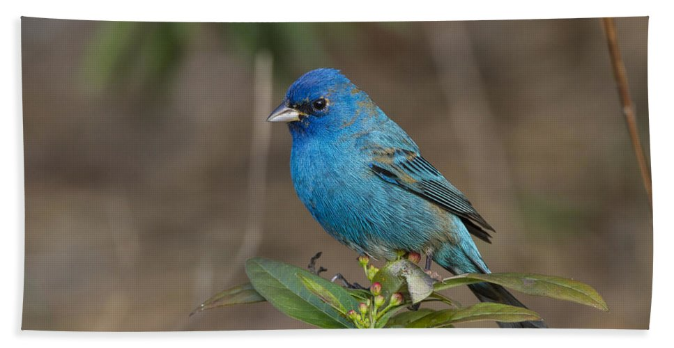 Doug Lloyd Hand Towel featuring the photograph Indigo Bunting by Doug Lloyd