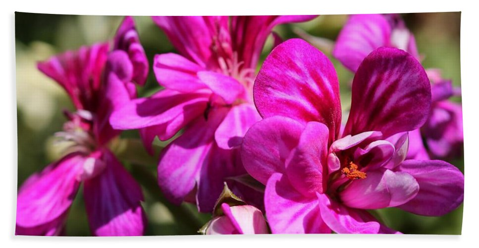Mccombie Bath Sheet featuring the photograph Ivy Geranium Named Contessa Purple Bicolor by J McCombie