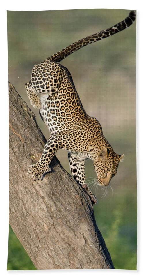 Photography Bath Sheet featuring the photograph Leopard Panthera Pardus On Tree, Ndutu by Panoramic Images