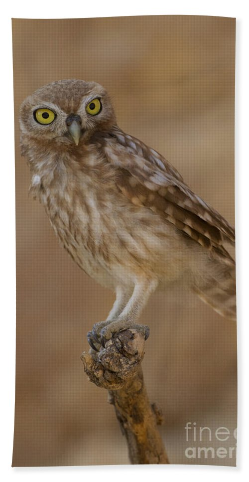 Animal Hand Towel featuring the photograph Little Owl Athene Noctua by Eyal Bartov
