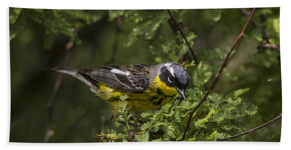 Doug Lloyd Hand Towel featuring the photograph Magnolia Warbler by Doug Lloyd