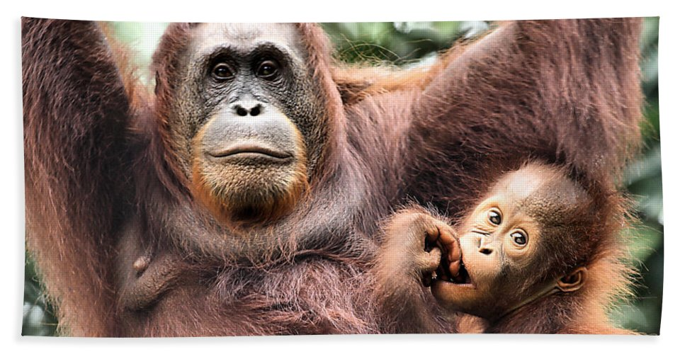 Orangutan Bath Sheet featuring the photograph Mother And Baby Orangutan Borneo by Carole-Anne Fooks