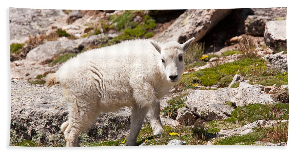 Arapaho National Forest Hand Towel featuring the photograph Mountain Goat Kid On Mount Evans by Fred Stearns