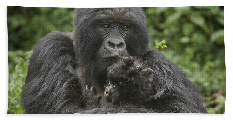Photography Hand Towel featuring the photograph Mountain Gorilla Gorilla Beringei by Animal Images