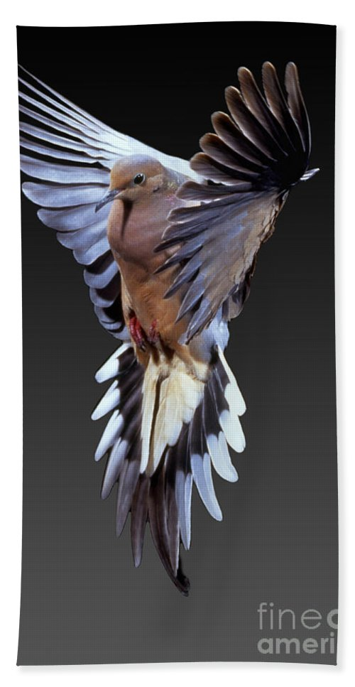 Mourning Dove Hand Towel featuring the photograph Mourning Dove by Anthony Mercieca