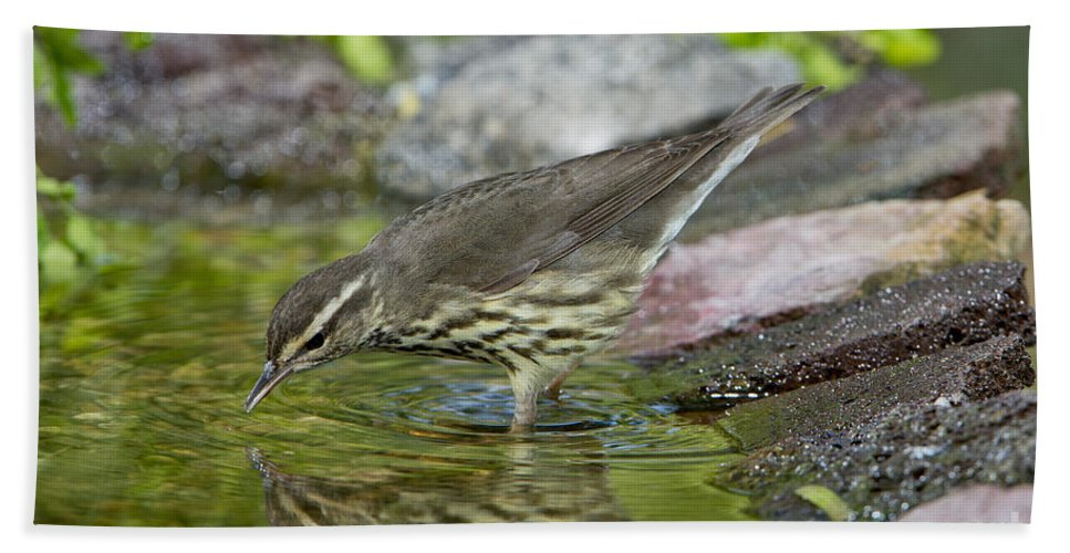 Northern Waterthrush Hand Towel featuring the photograph Northern Waterthrush by Anthony Mercieca