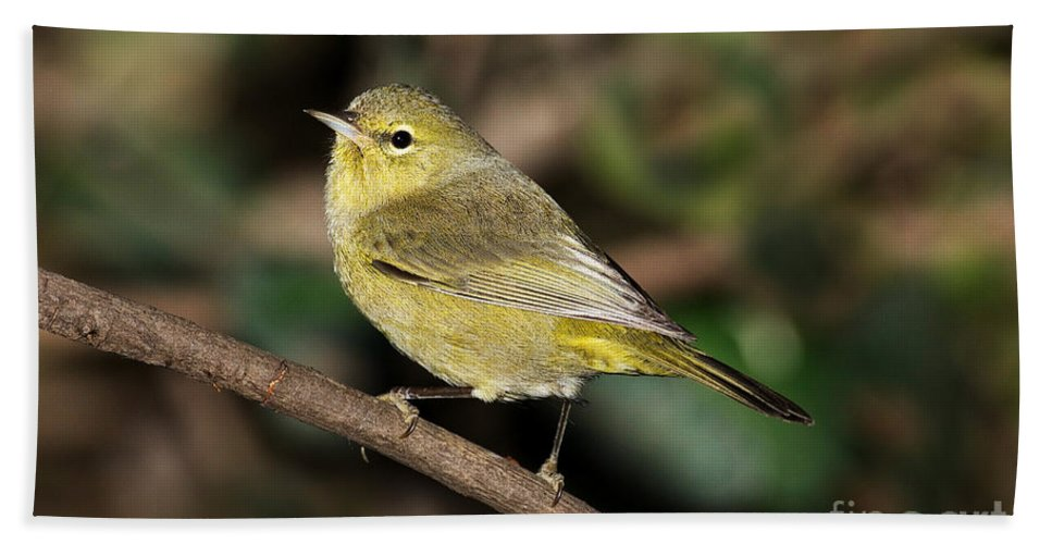 Orange-crowned Warbler Hand Towel featuring the photograph Orange-crowned Warbler by Anthony Mercieca