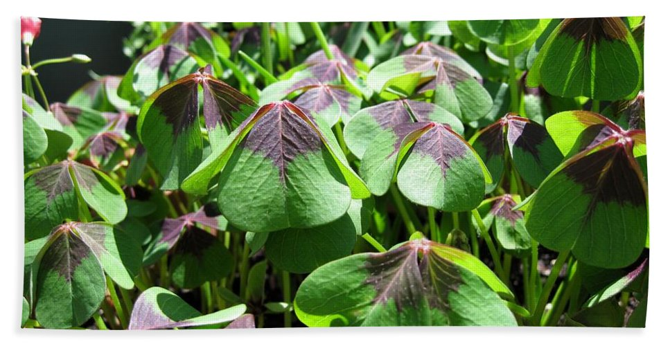 Mccombie Bath Sheet featuring the photograph Oxalis Deppei Named Iron Cross by J McCombie