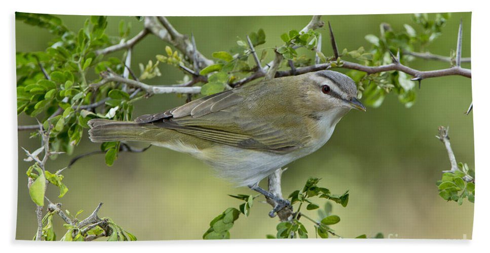 Red-eyed Vireo Hand Towel featuring the photograph Red-eyed Vireo by Anthony Mercieca