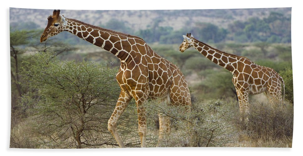 Africa Bath Sheet featuring the photograph Reticulated Giraffe by John Shaw