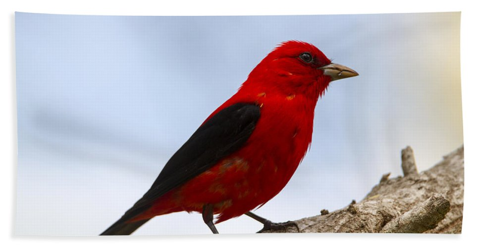 Doug Lloyd Hand Towel featuring the photograph Scarlet Tanager by Doug Lloyd