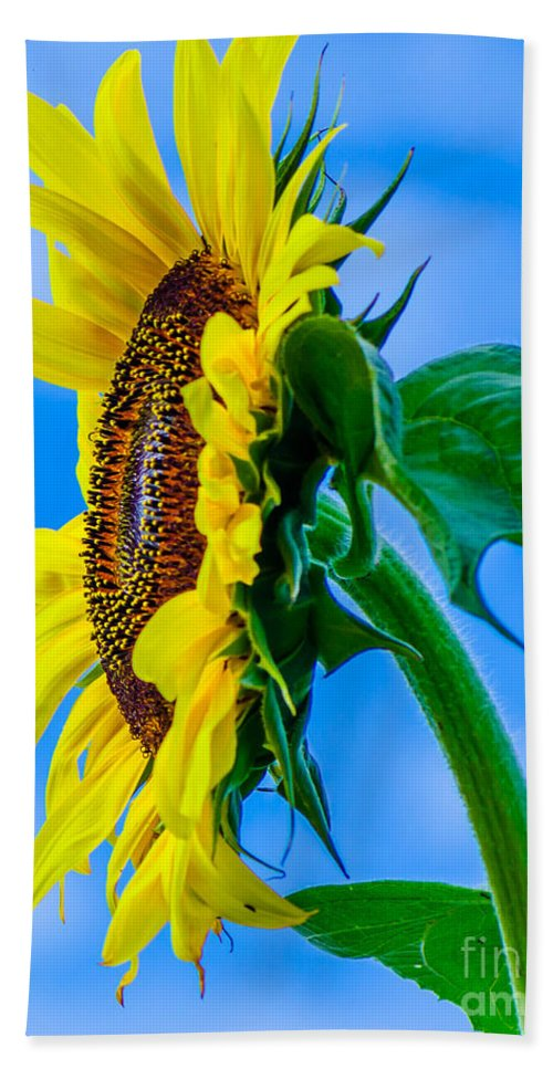 Mexican Bath Sheet featuring the photograph Sunflower by Michael Moriarty