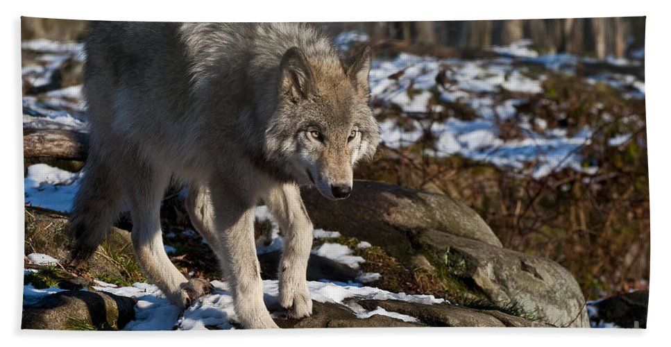 Timber Wolf Photography Bath Sheet featuring the photograph Timber Wolf by Wolves Only