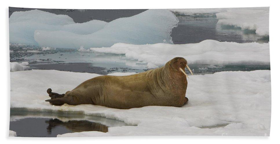 Walrus Bath Sheet featuring the photograph Walrus Resting On Ice Floe by John Shaw