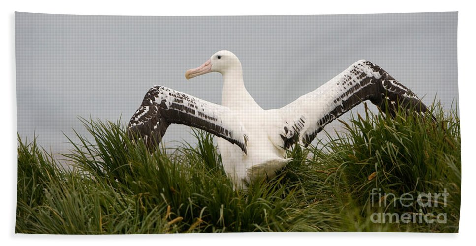Albatross Bath Sheet featuring the photograph Wandering Albatross by John Shaw
