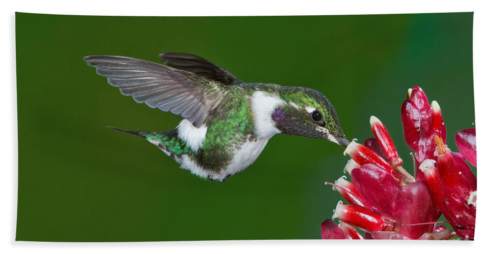 White-bellied Woodstar Hand Towel featuring the photograph White-bellied Woodstar by Anthony Mercieca