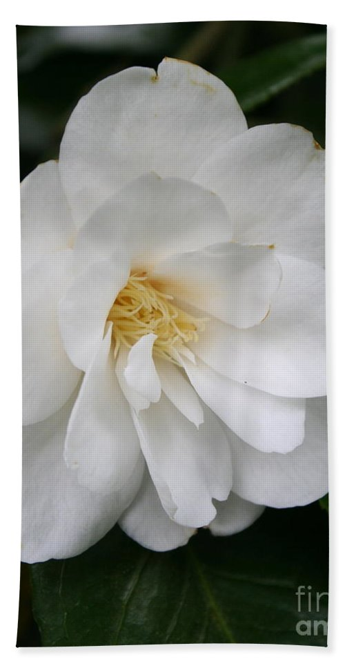 White Camellia Bath Sheet featuring the photograph White Camellia by Christiane Schulze Art And Photography