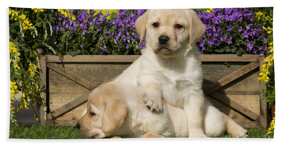 Labrador Retriever Bath Sheet featuring the photograph Yellow Labrador Puppies by Jean-Michel Labat