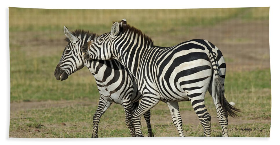 Africa Bath Sheet featuring the photograph Zebra Males Fighting by John Shaw