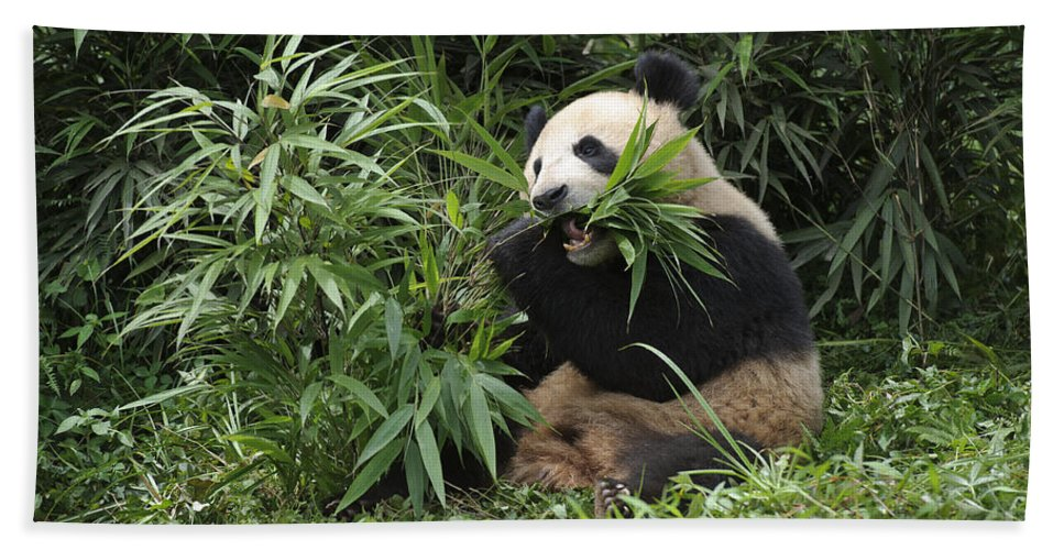 Ailuropoda Melanoleuca Bath Sheet featuring the photograph Giant Panda by John Shaw
