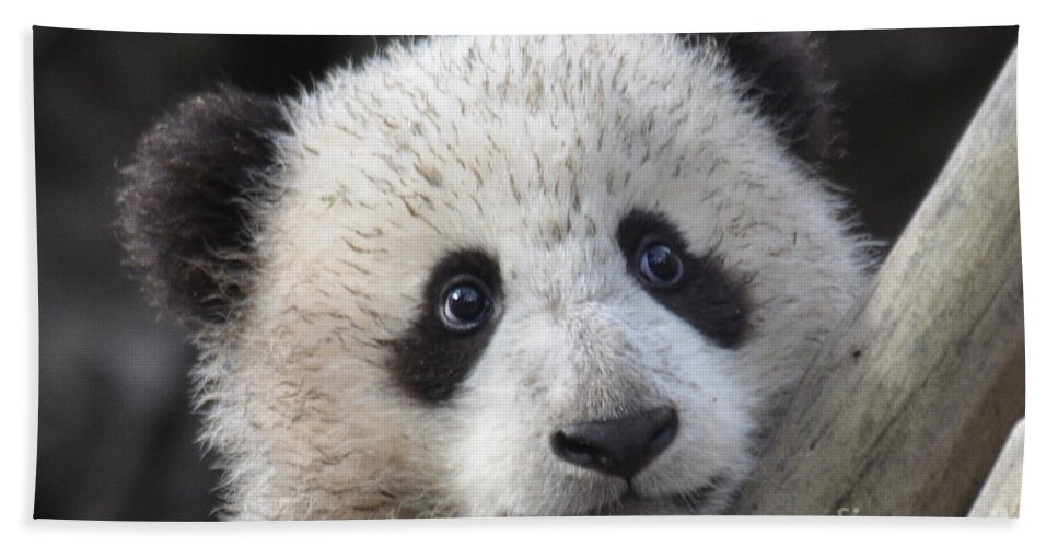 Nature Hand Towel featuring the photograph Baby Giant Panda by Mark Newman