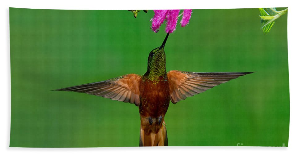 Chestnut-breasted Coronet Hand Towel featuring the photograph Chestnut-breasted Coronet by Anthony Mercieca