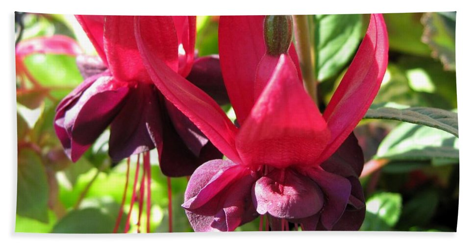 Mccombie Hand Towel featuring the photograph Fuchsia Named Roesse Blacky by J McCombie